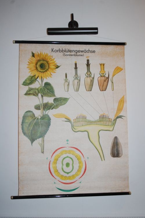 vintage retro school pull down chart decorative wall poster sunflower 1960