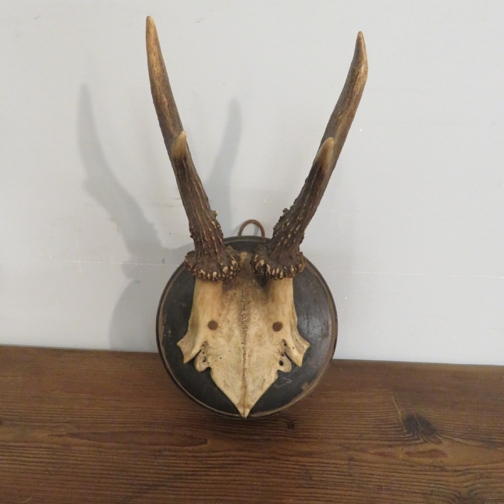 antique set of small roe deer antlers on round shield signed dated 1908 nr i